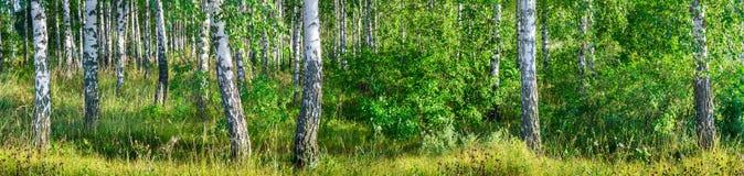 一副晴朗的夏日风景横幅的桦树树丛 免版税库存照片