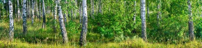 一副晴朗的夏日风景横幅的桦树树丛 图库摄影