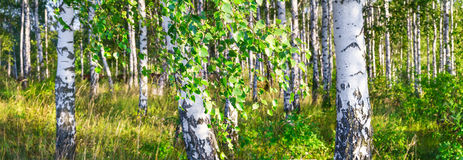 一副晴朗的夏日风景横幅的桦树树丛 免版税库存图片