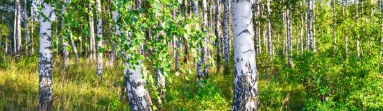 一副晴朗的夏日风景横幅的桦树树丛 库存照片