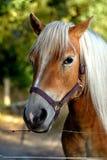 一匹友好的浅褐色的马的画象在一个农场附近的封入物根据9月太阳,额尔德庄园 免版税库存照片
