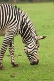 一匹吃草的斑马 免版税库存图片