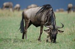 一匹吃草的角马 免版税库存图片