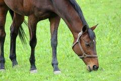 一匹吃草的马 库存图片