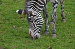 一匹吃草的黑白斑马的甜面孔 库存图片