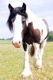 一匹吉普赛Vanner马的纹理照片 免版税库存照片