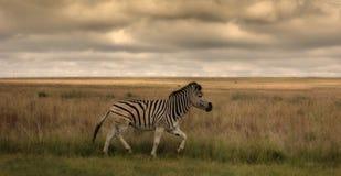一匹唯一斑马 免版税库存照片