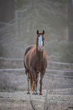 一匹好奇公马在他的畜栏在一个冷淡的11月早晨 免版税库存照片