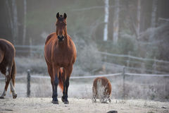 一匹好奇公马在他的畜栏在一个冷淡的11月早晨 免版税图库摄影
