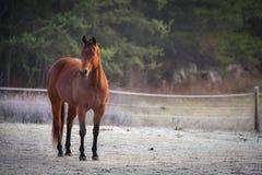 一匹好奇公马在他的畜栏在一个冷淡的11月早晨 免版税库存图片