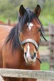一匹好的海湾马的画象在畜栏 免版税库存照片
