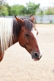 一匹好的马的画象 库存照片