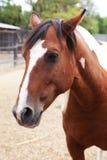 一匹好的马的画象 库存图片