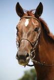 一匹嬉戏栗子驯马的顶头射击 免版税库存照片