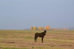 一匹孤立马在草甸 图库摄影