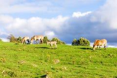 一匹小的马驹在其他Przewalski野马中在高地野生生物徒步旅行队公园,苏格兰 免版税库存照片