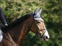 一匹展示套头衫体育马的特写镜头的画象在种族期间的 免版税库存照片