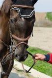 一匹展示套头衫马的特写在训练期间的与未认出的车手 免版税库存照片
