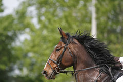 一匹展示跳跃的马的水平的射击在竞争ridin期间的 库存图片