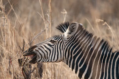 一匹平原斑马的特写在热的 免版税库存照片