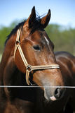 一匹幼小公马的顶头射击在畜栏 库存照片