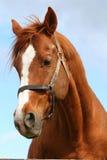 一匹幼小公马的马头特写镜头 免版税图库摄影