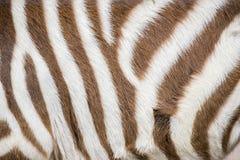 一匹幼小斑马的条纹 免版税库存照片