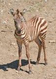 一匹幼小斑马的纵向 库存图片