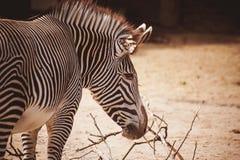 一匹幼小斑马的纵向 免版税图库摄影