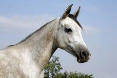 一匹幼小纯血统马的特写镜头在牧场地的反对自然蓝色 免版税库存照片