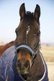 一匹幼小纯血统驯马的顶头射击在冬天毯子的 免版税图库摄影