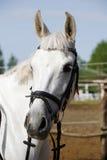 一匹幼小马的顶头射击特写镜头在展示跳跃的事件的 免版税库存图片