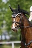 一匹幼小马的顶头射击特写镜头在展示跳跃的事件的 图库摄影