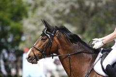一匹幼小马的顶头射击特写镜头在展示跳跃的事件的 库存照片