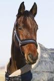 一匹幼小驯马的头在毯子的 免版税库存照片
