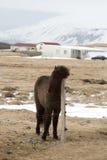 一匹幼小黑冰岛马的画象 图库摄影