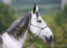 一匹幼小lipizzaner马的顶头射击反对绿色自然后面的 库存图片