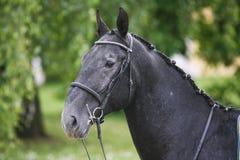 一匹幼小lipizzaner马的水平的顶头射击反对绿色n的 免版税库存图片