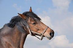 一匹成人棕色马的特写镜头 公马 库存图片
