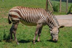 一匹斑马在佩恩顿动物园,佩恩顿,德文郡,英国里 库存图片