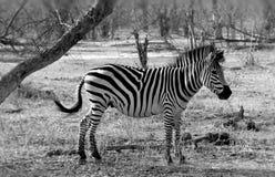 一匹斑马在赞比亚 免版税库存图片