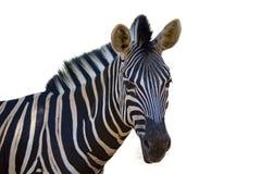 一匹斑马的图象在白色背景的 免版税库存图片
