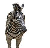 一匹斑马的图象在白色背景的 库存照片