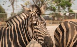 一匹斑马的图象在自然背景的 免版税库存图片