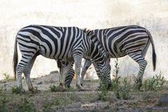 一匹斑马的图象在自然背景的 库存照片