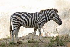 一匹斑马的图象在自然背景的 图库摄影