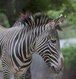 一匹斑马的垂直条纹在全国动物园的 免版税库存照片