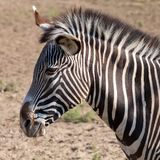 一匹斑马的画象与美丽的 枪口接近 保留 免版税库存照片