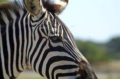 一匹斑马的画象在外形的 免版税库存照片