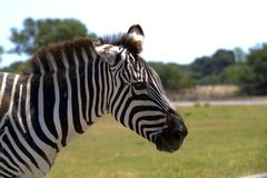 一匹斑马的画象在外形的 免版税库存图片